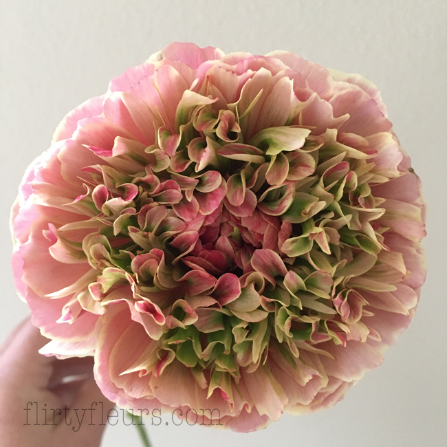 Flirty Fleurs - Gloeckner Ranunculus Pink and Green, Seattle Wholesale Growers Market