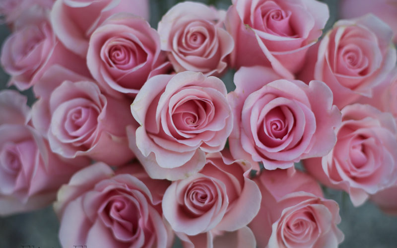 Pink Rose Study with Amato Wholesale