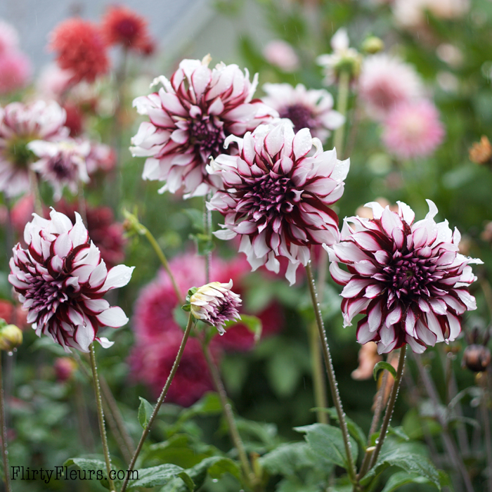 Striking Tartan Dahlias enjoying a refreshing summer rain. Grown in Flirty Fleurs Dahlia Patch, dahlia tubers are from Longfield Gardens.