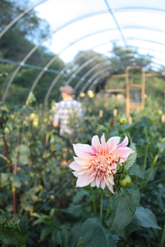 A Cafe Au Lait Dahlia grown by Hong Elder Floral Farm and Workroom
