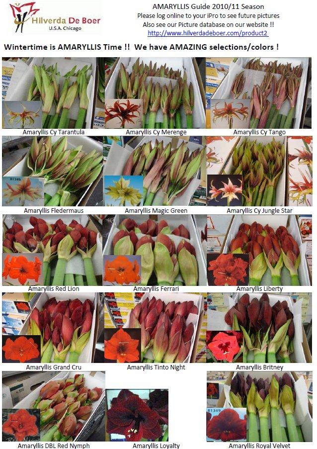 Amaryllis Variety Guide