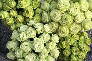 colors of green roses