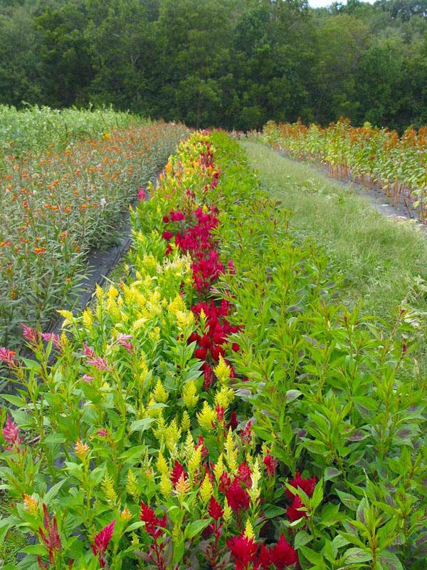 Celosia Virginia Flower Farm