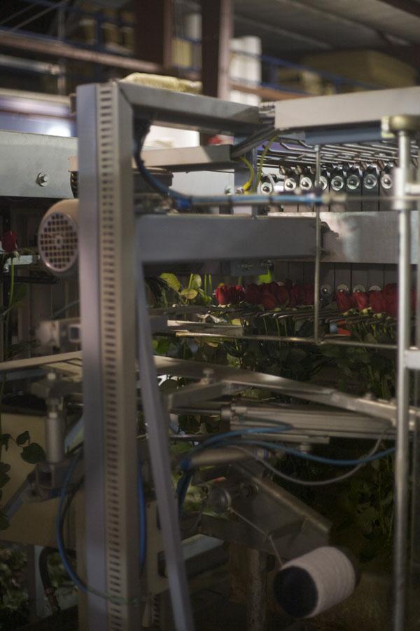 rose sorting machine