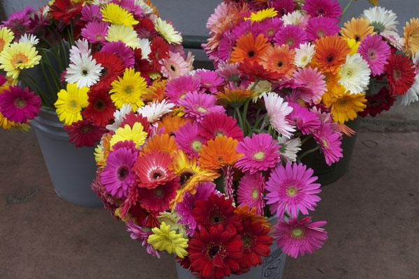 buckets of gerbera daisies