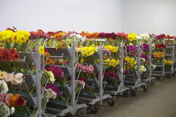 colorful gerber daisies