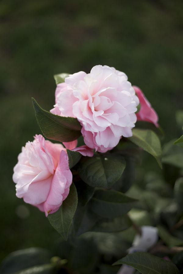 pink camellia plant