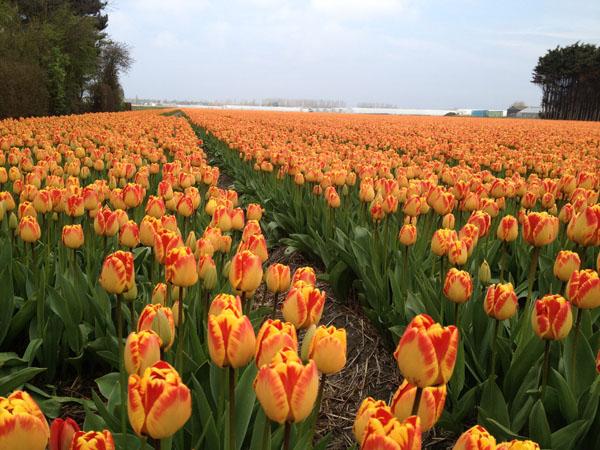 orange tulip field holland