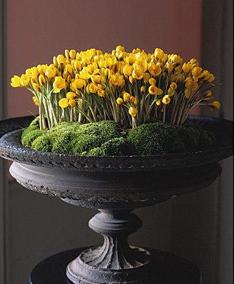 yellow crocus flowers in an urn