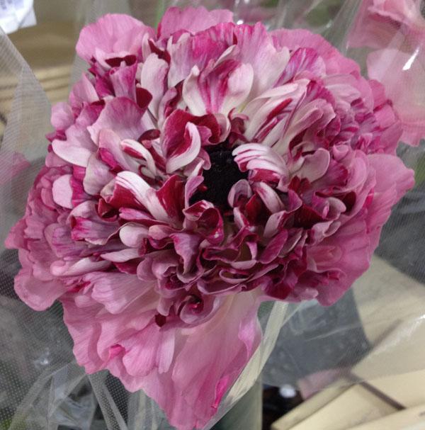 Burgundy and pink ranunculus
