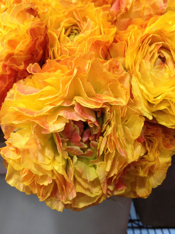 gold yellow ranunculus