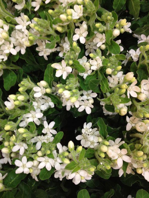 New York Flower District Dutch Flower Line Flirty