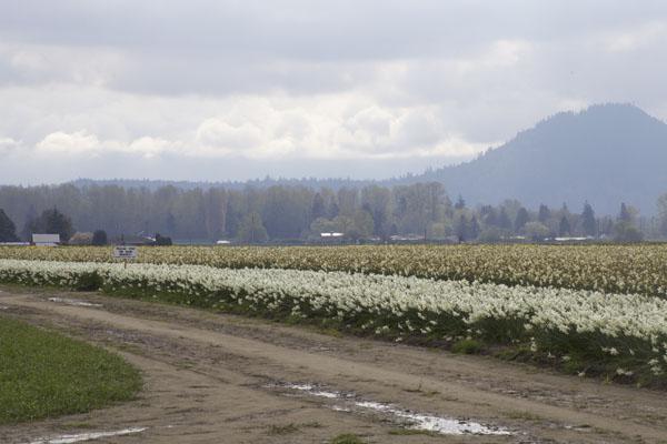 daffodil field Skagit Valley