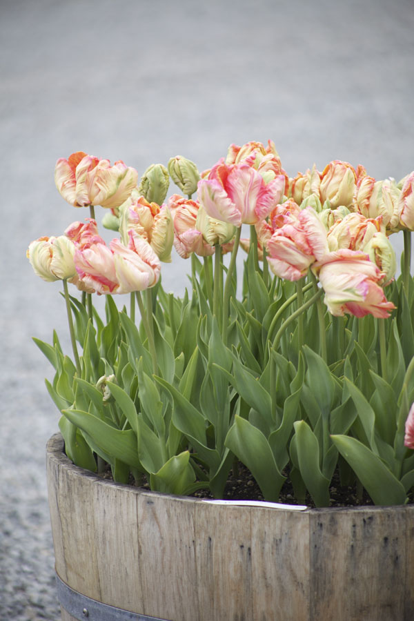 peach parrot tulips