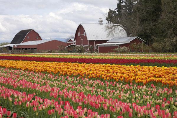 tulips and barn