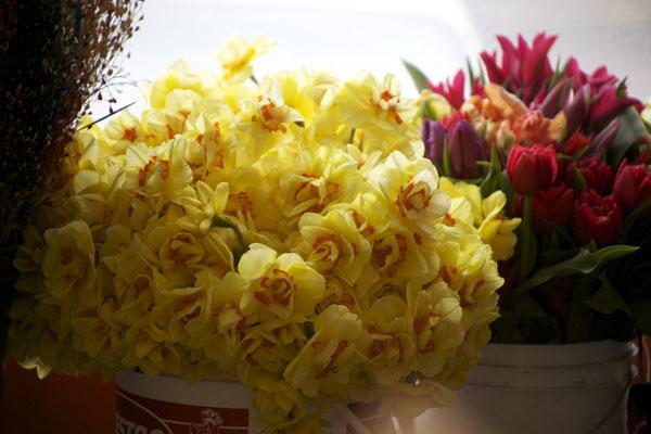 yellow double daffodil