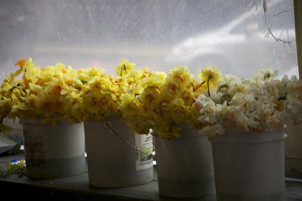 buckets of double yellow daffodils
