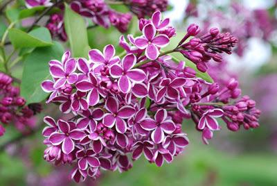 lilac+2