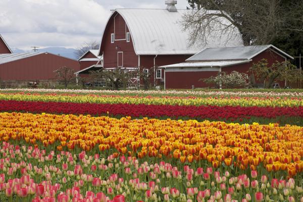 Mt Vernon tulips