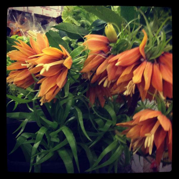 Orange Fritillaria