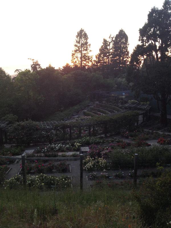 Excellent Flower Adventures :: Berkeley Rose Garden & Morcom Rose Garden
