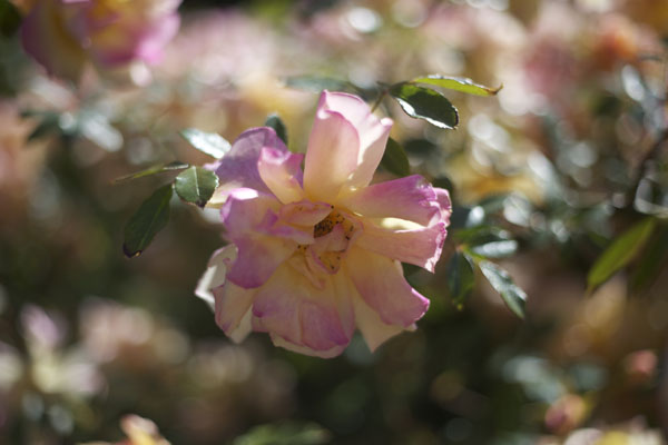 peach and pink garden rose