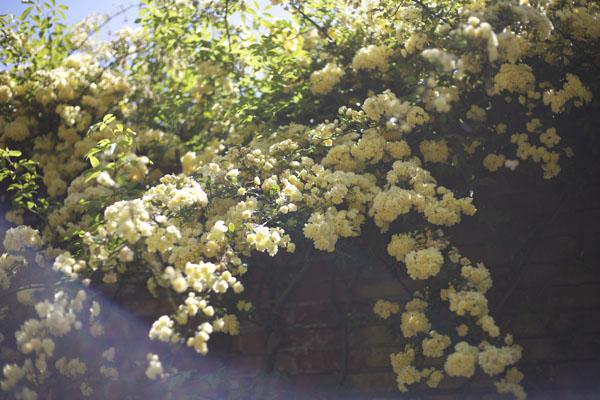 yellow climbing bank rose