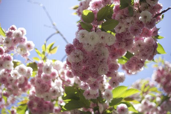 flowering pink tree
