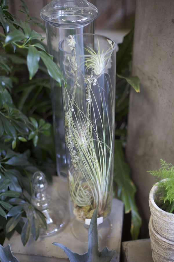 airplants in a vase
