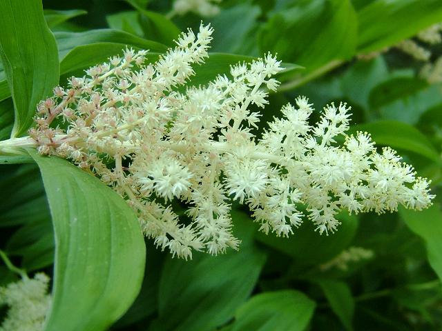 maianthemum_racemosum_false_solomons_seal_flowers_16-05-04