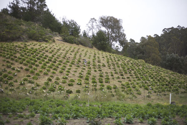 Hydrangea growing farm