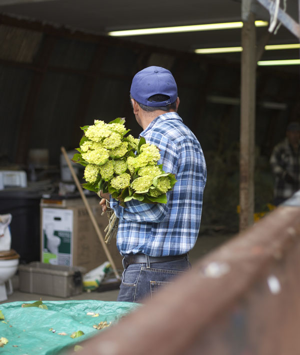 green hydrangea farmer