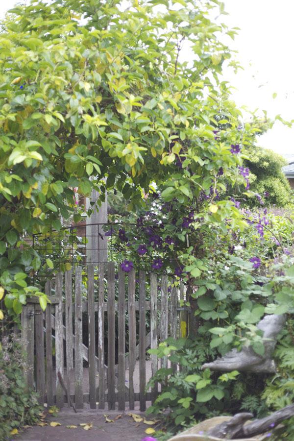 clematis on a garden gate
