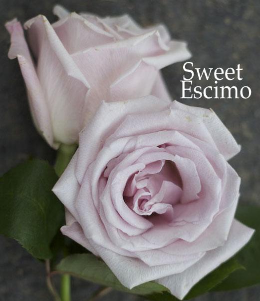 light blush pink rose