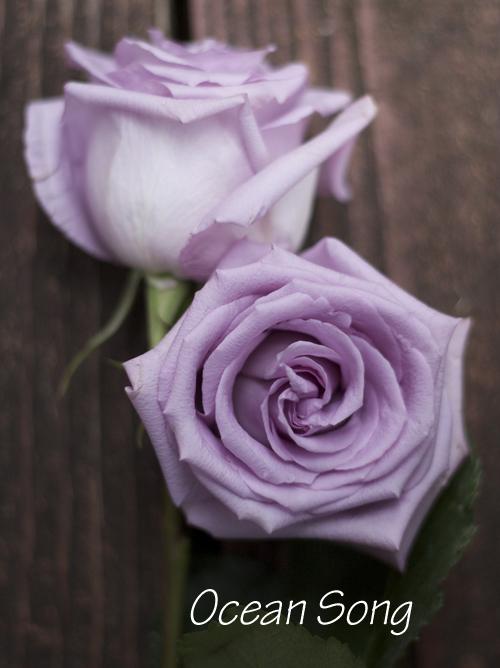 lavender rose by Harvest Roses