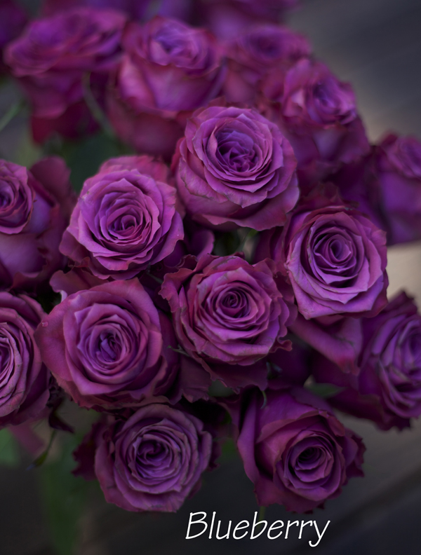 Blueberry Rose