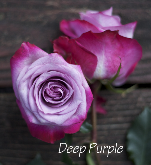 Deep purple rose
