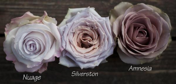antique lavender roses