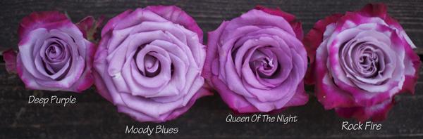 purple roses by harvest wholesale