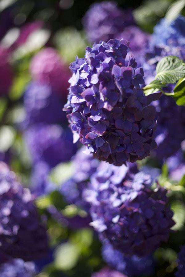 purple hydrangeas sebastopol