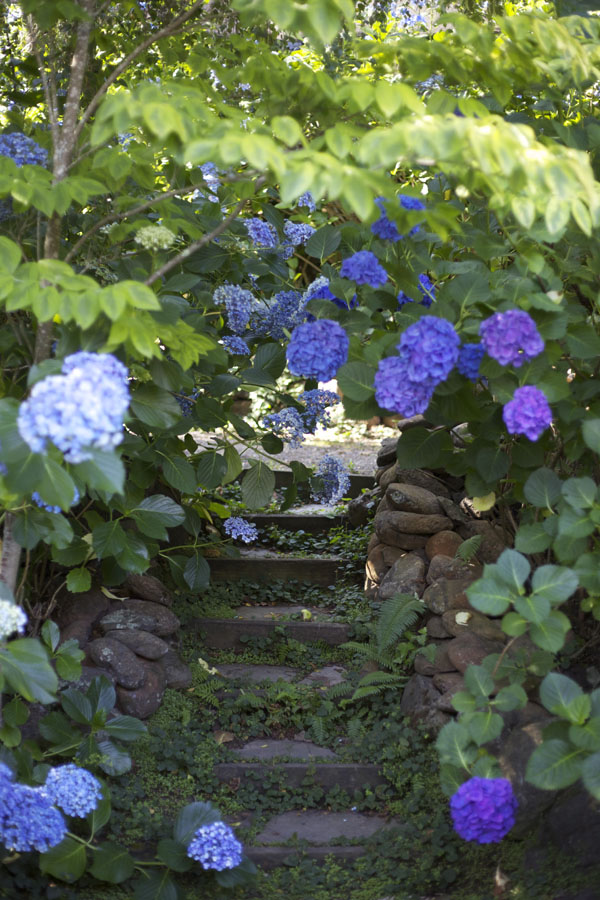 Garden Stairs leading up to the lounging deck, engulfed in Hydrangeas.