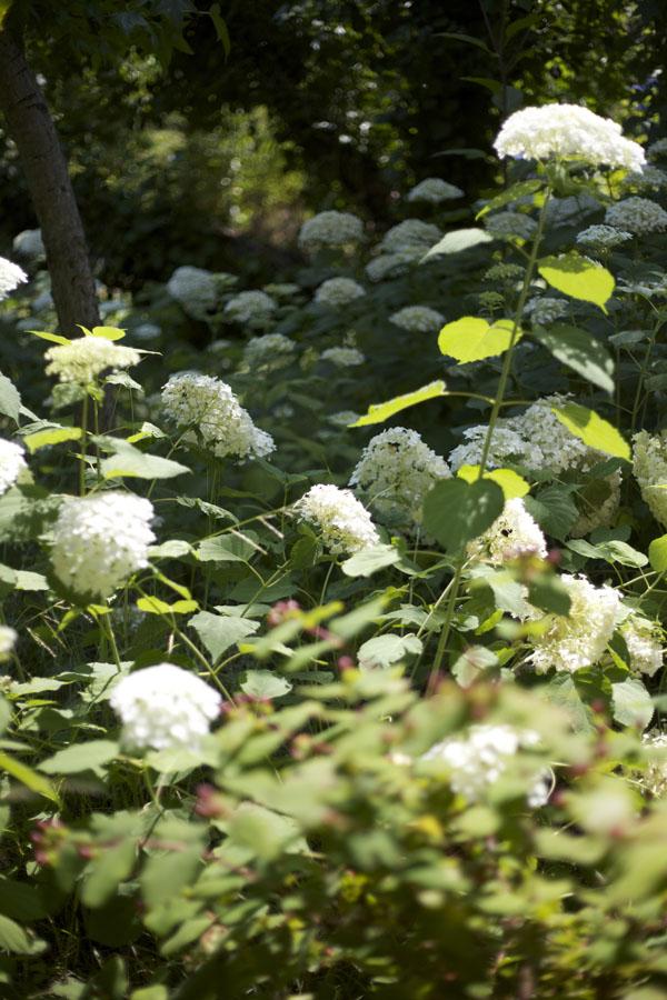 Green Valley Growers Hydrangea