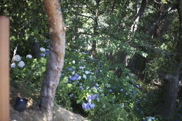 Hydrangeas growing under the grove of trees.