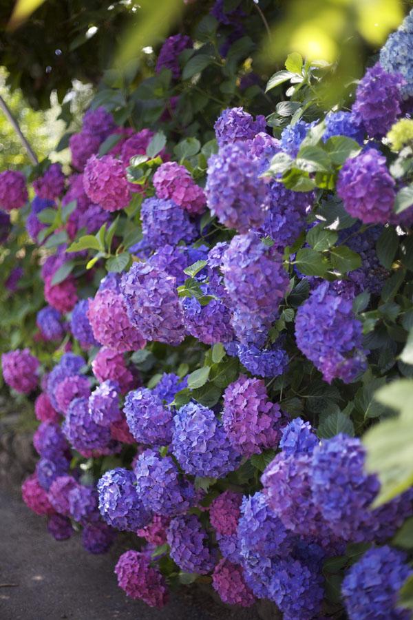 pink and purple hydrangeas