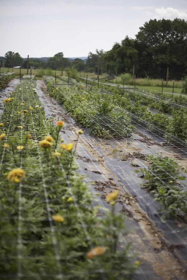 fields dahlias