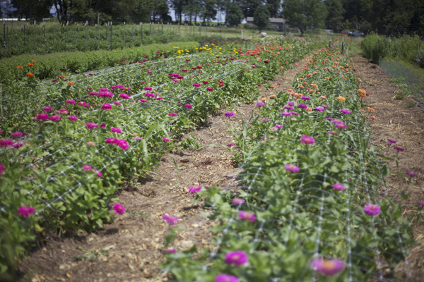 rows of zinnias
