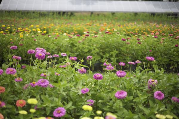 rows of zinnias at a flower farm