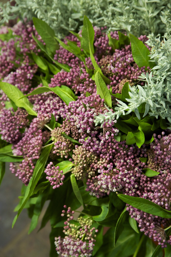 pink Asclepias
