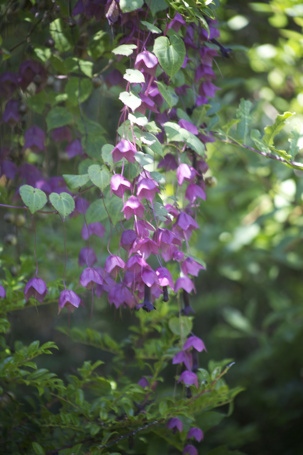 Purple bell vine