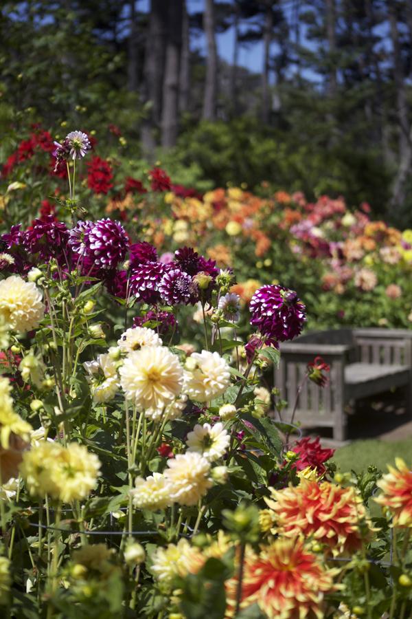 bench in a dahlia garden
